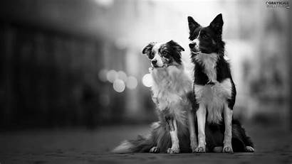 Fuzzy Collie Border Dogs Cars Background Grayscale