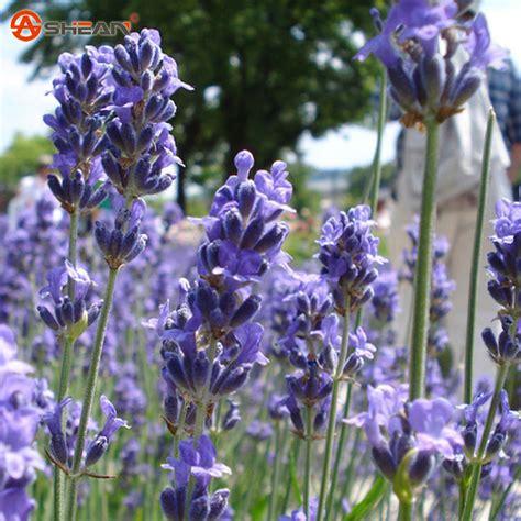plant lavender seeds french provence lavender seeds potted plant seeds very fragrant spring lavender perennial seeds
