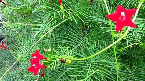 vine plants cypress vine ipomoea quamoclit lisa s landscape design quot plant pick of the day quot youtube