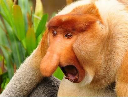 Monkey Proboscis Snout