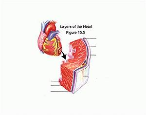 Label The Layers Of The Heart