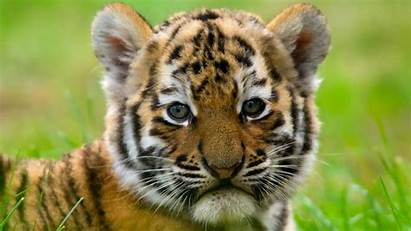 Animals Tiger Articles