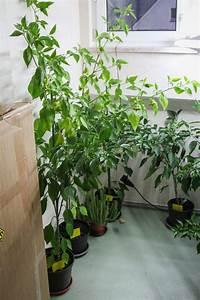 Pflanzen Im Treppenhaus : chilipflanzen mit kunstlicht berwintern neuer versuch majas pflanzenblog ~ Orissabook.com Haus und Dekorationen