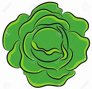 Cabbage clipart green salad - Pencil and in color cabbage ...
