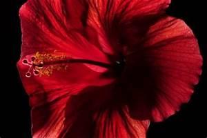 Wann Schneidet Man Hibiskus : hibiskus beschneiden hibiskus schneiden ran an den ~ Lizthompson.info Haus und Dekorationen
