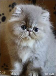 Lilac Kitten Pictures - Lilac Persians, Bicolors ...