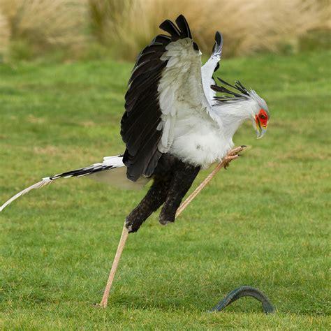 adopt dr no the secretary bird hawk conservancy trust