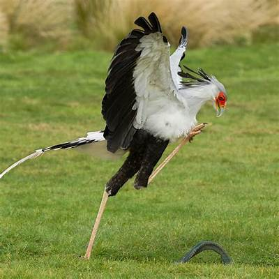 Adopt Dr No the Secretary Bird - Hawk Conservancy Trust