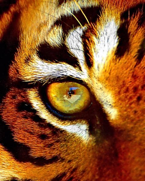 tigers eye photograph  marlo horne