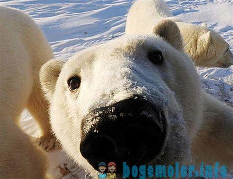 Interesanti fakti par leduslāčiem