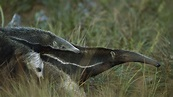 Tamandua Bandeira - Giant anteater carries the baby on her ...