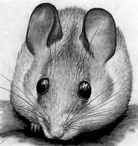 Wie Fängt Man Eine Maus : wie zeichnet man eine maus in bleistift schritt f r schritt f r anf nger und kinder wie zeichne ~ Markanthonyermac.com Haus und Dekorationen