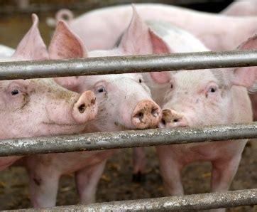 si鑒e de l omc embargo russe sur le porc l ue saisit l 39 omc porcs elevage pleinch