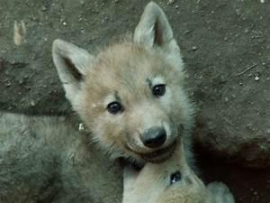 Bébé Loup Blanc : les loups web coles pont de ch ruy ~ Farleysfitness.com Idées de Décoration