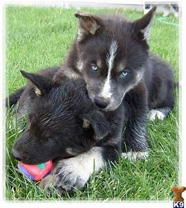 Wolf husky hybrid pups. | Miracles With Paws ♥ | Pinterest