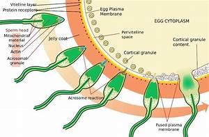 Spermatogenesis Vs Oogenesis