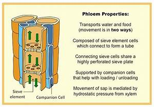 Phloem Structure
