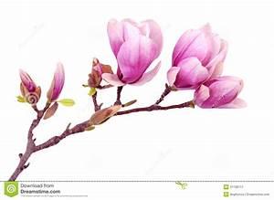 Fleur De Magnolia : fleur de magnolia image stock image du bourgeon flore ~ Melissatoandfro.com Idées de Décoration