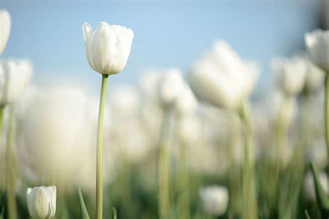 white tulip garden wallpaper  decor