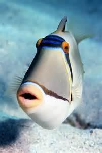 Arabian Picasso Triggerfish