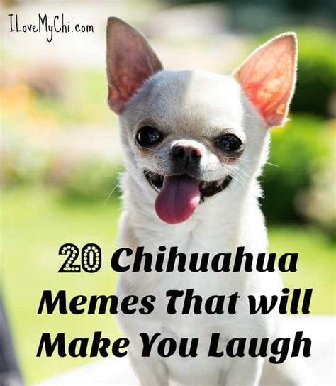 Chihuahua Memes - 20 chihuahua memes that will make you laugh