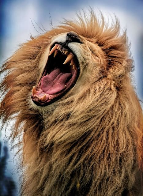 lion roarjpg