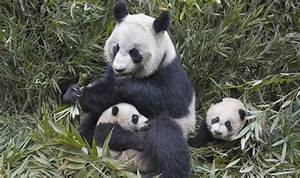 Wild giant pandas on comeback trail in China | Nature ...