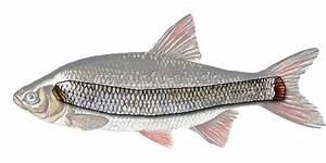 Fisch Mit H : seitenlinienorgan angellexikon schleswig holstein ~ Eleganceandgraceweddings.com Haus und Dekorationen