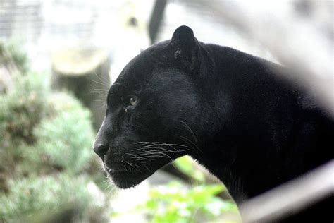 Black Panthers Wallpapers