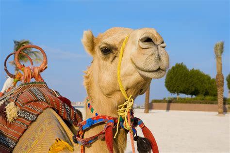 typisch arabisch arabisches kamelrennen arabischer
