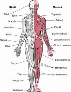 Anatomie spieren, flashcards quizlet