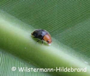 Schwarzer Käfer Im Haus : schwarze flecken auf dem penis kopf ~ Somuchworld.com Haus und Dekorationen