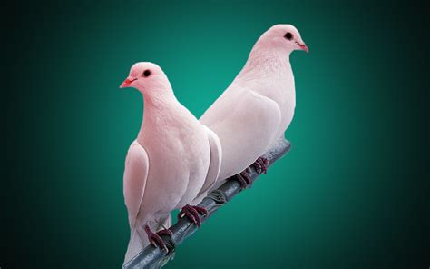 White Pigeon Bird