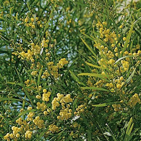 mimosa des 4 saisons arbustes m 233 diterran 233 ens et agrumes meilland richardier