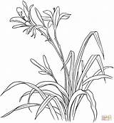 Lily Coloring Pages Flowers Hemerocallis Drawing Tiger Calla Flower Spp Lilies Printable Drawings Gladiolus Supercoloring Getdrawings Coloringpages101 Silhouettes sketch template