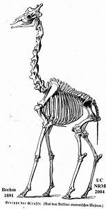 Giraffenskelett Brehm 1891