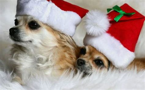 merry christmas all small dogs photo 17732013 fanpop