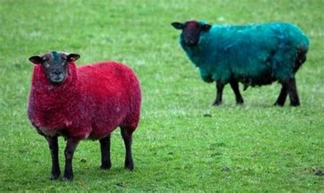 colored sheep 17 best images about sheep colors on the