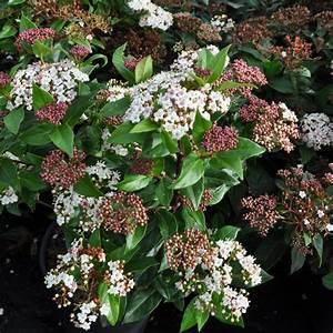 Laurier Tin : laurier tin viburnum tinus plantes et jardins ~ Mglfilm.com Idées de Décoration