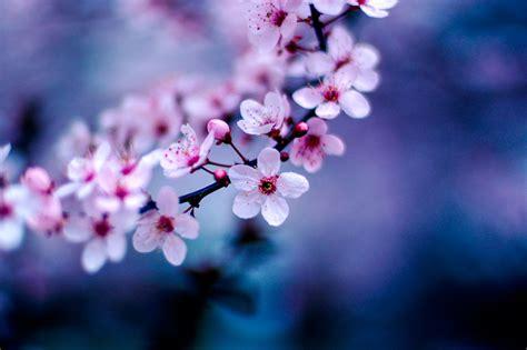 Real Cherry Blossoms & Sakura-inspired
