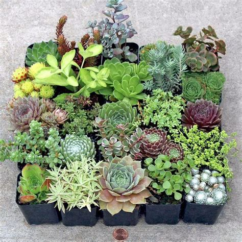 buying succulents 77 best lovely hardy succulents images on pinterest