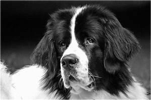 Schwarz Weiß Kontrast : landseer schwarz wei foto bild tiere haustiere hunde bilder auf fotocommunity ~ Frokenaadalensverden.com Haus und Dekorationen