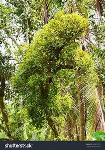 Mistletoe Loranthus Europaeus Parasitic Plant On Stock ...