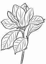 Coloring Magnolia Pages Printable Getcolorings Magno Adults sketch template