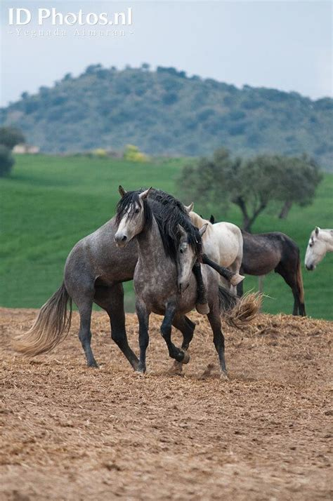 andalusian horse breeding yeguada