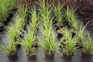 Garten Ohne Gras : zebraschilfgras zebrinus miscanthus sinensis zebrinus g nstig online kaufen ~ Sanjose-hotels-ca.com Haus und Dekorationen