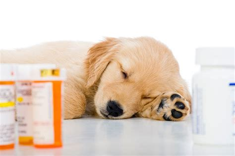 probiotics  dogs  ear infections
