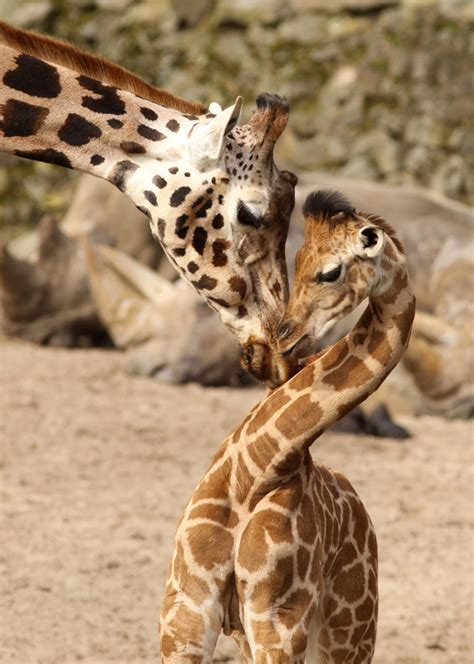 amazing animal moms   adorable offspring