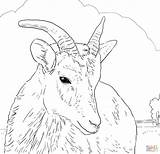 Sheep Coloring Horn Bighorn Female Pages Printable Horns Dall Colouring Drawing Rams Drawings Supercoloring 1586 45kb 1536px Dot sketch template