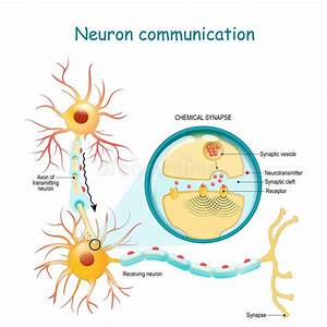 Neurons Synapse Brain Functions Stock Illustration